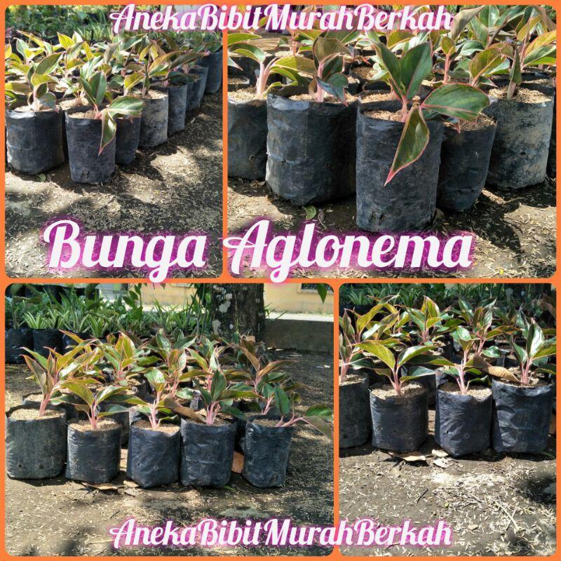 Bibit Bunga Aglonema