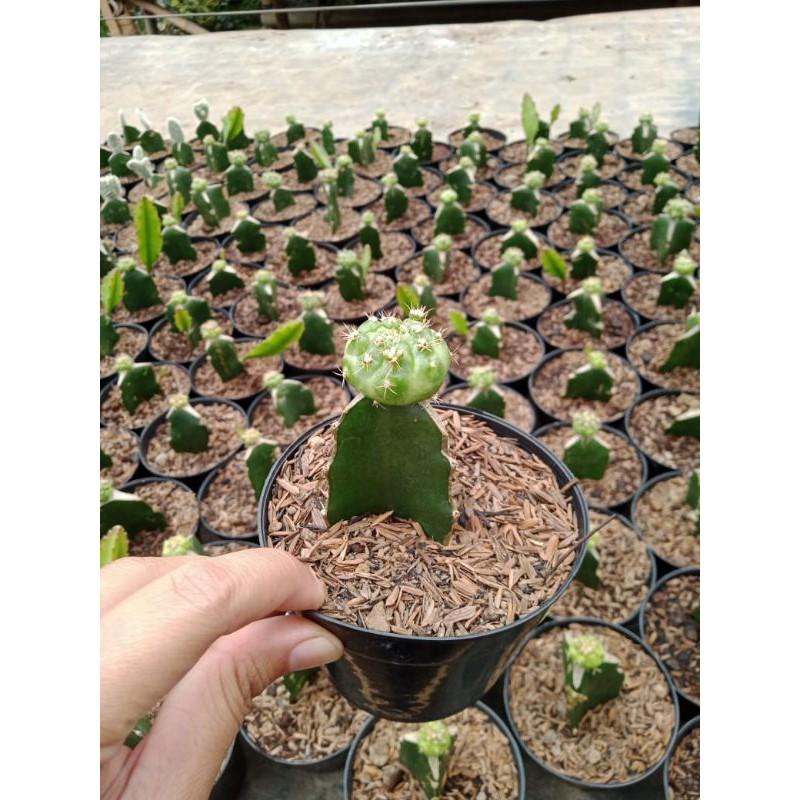 Kaktus Grafting Shopee Indonesia