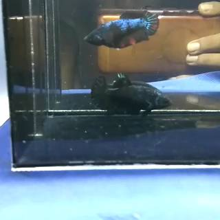 Ikan cupang Avatar Gordon female | Shopee Indonesia