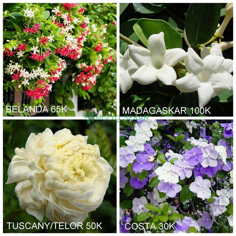Bibit Paket Tanaman Bunga Melati Spesial Wangi Shopee Indonesia