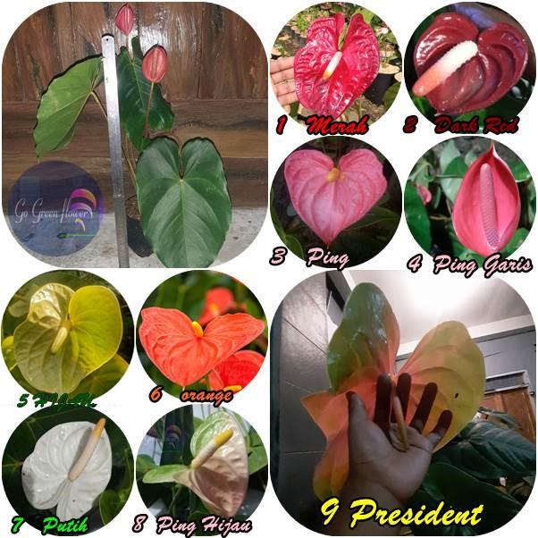 Anturium Bangkok Bunga Besar Exotic Lengkap Shopee Indonesia