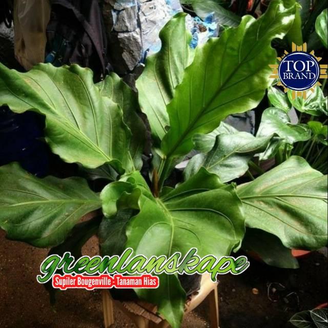 Tanaman Hias Anthorium Anthurium Wave Of Love Gelombang Cinta Tanaman Indoor Shopee Indonesia