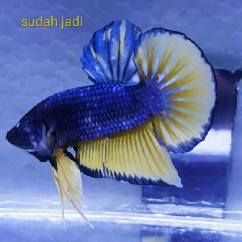 Ikan Cupang Mustard Gas Mg Yellow Unik Shopee Indonesia