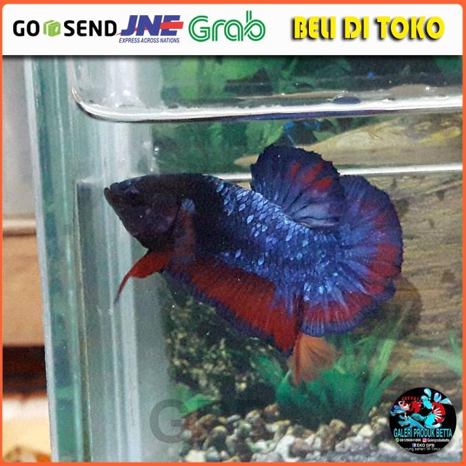 Cod Plakat Avatar Ikan Cupang Hias Avatar Ikan Cupang Plakat Avatar Gordon Shopee Indonesia