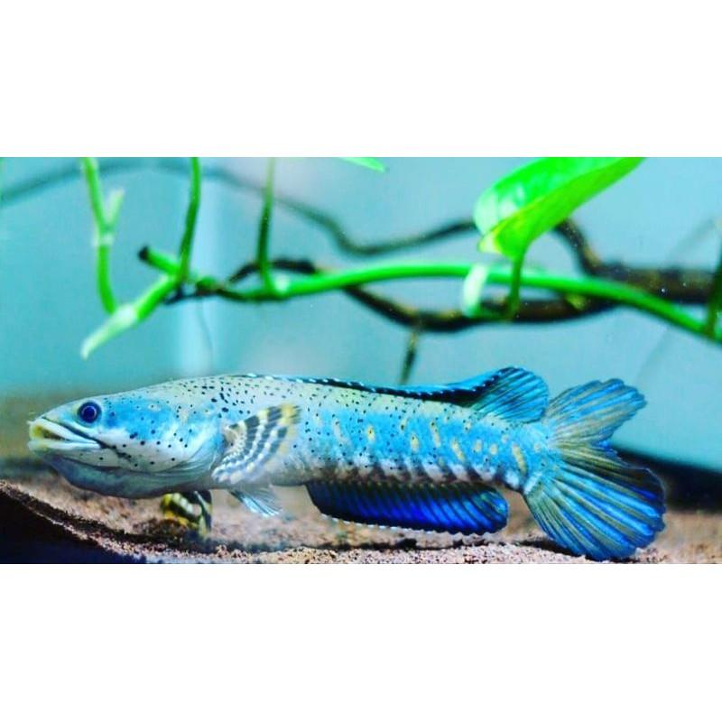 Blue Pulchra Size 4 5cm Shopee Indonesia