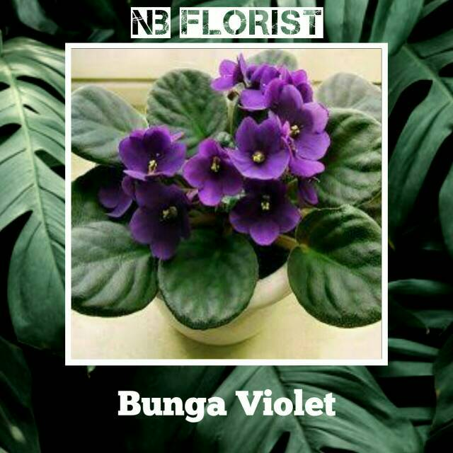 Tanaman Hias Bunga Violces Shopee Indonesia