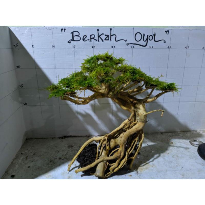 Promo Bonsai Aquascape Bonus Java Moss Shopee Indonesia