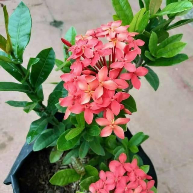 Tanaman Hias Asoka Jepang Bunga Merah Soka Jepang Shopee Indonesia
