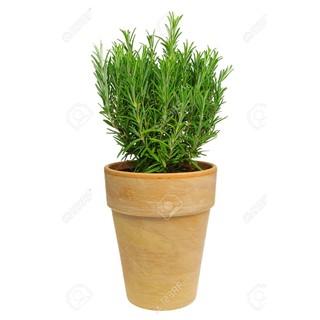 Amefurashi Benih / Bibit / Seed Herbal Rosemary Tanaman Harum Cocok Untuk Minum Teh