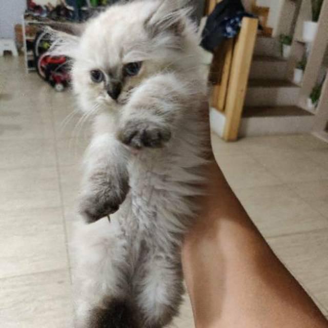 Unduh 100+  Gambar Kucing Himalaya Lucu HD