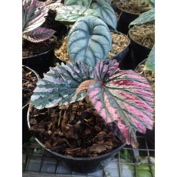 Begonia Rex Walet