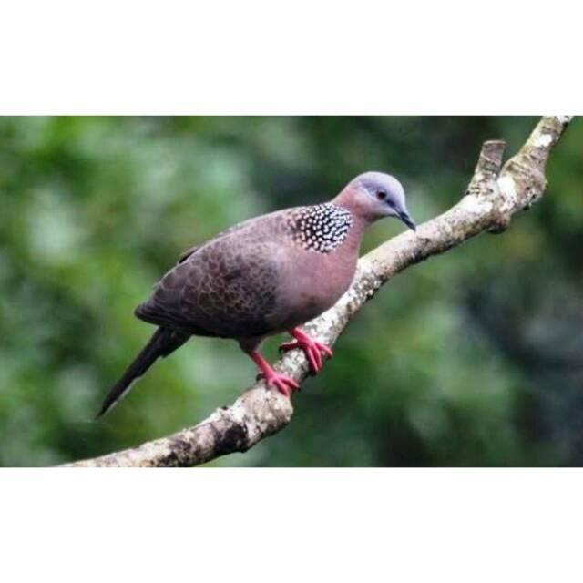 Burung Tekukur Shopee Indonesia