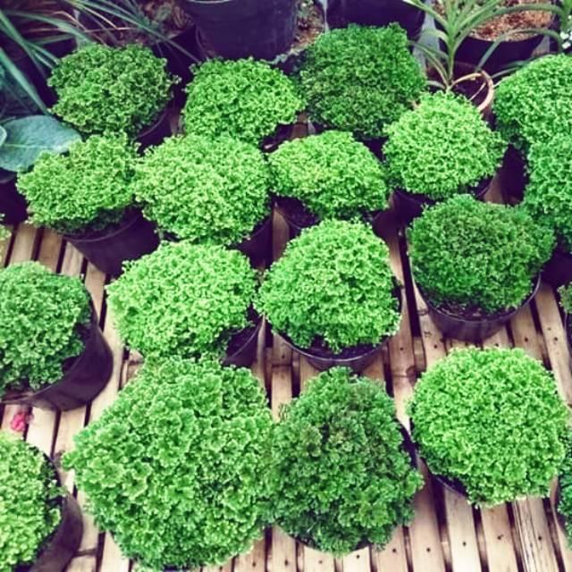 Tanaman Hias Rumput Papua Lumut Ambon Shopee Indonesia