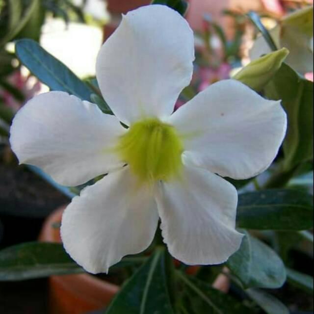 Paket Isi 10 Biji Benih Benih Biji Bibit Bunga Adenium Obesum Putih Kamboja Jepang Putih Shopee Indonesia