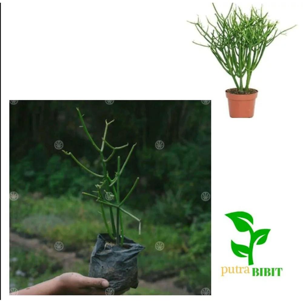 Bibit Pohon Kayu Urip Tanaman Batang Patah Tulang Obat Herbal Shopee Indonesia