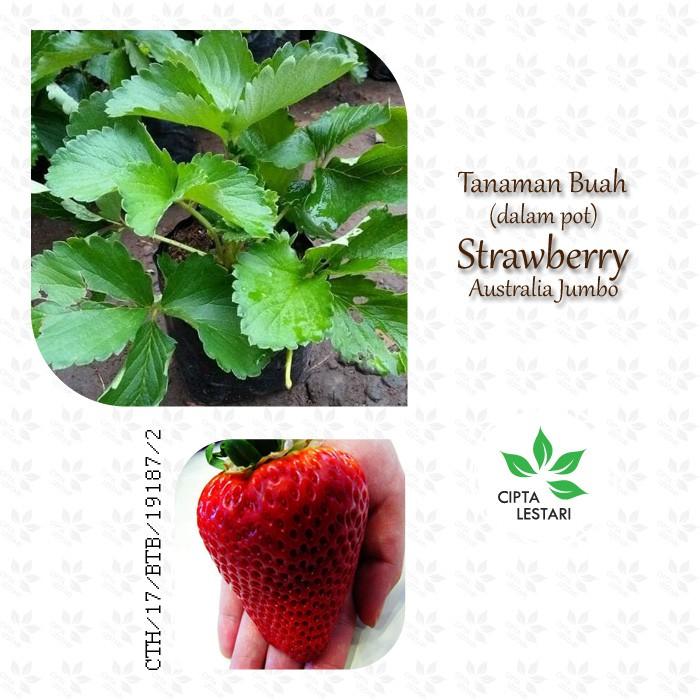Tanaman Buah Strawberry Australia Jumbo - Bibit Pohon Strawbery Giant Besar | Shopee Indonesia