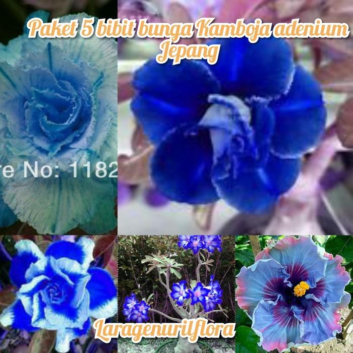 New Paket 5 Bunga Kamboja Adenium Jepang Blue Shopee Indonesia
