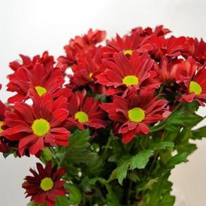Bunga Hidup Krisan Merah Chrysanthemum Shopee Indonesia