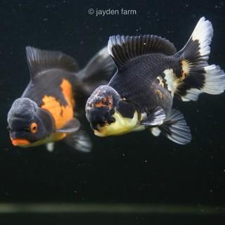 Gambar Ikan Oranda