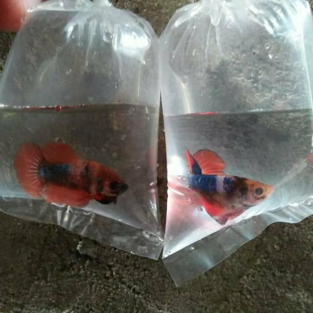 Jual Ikan Cupang Fancy Galaxy Shopee Indonesia