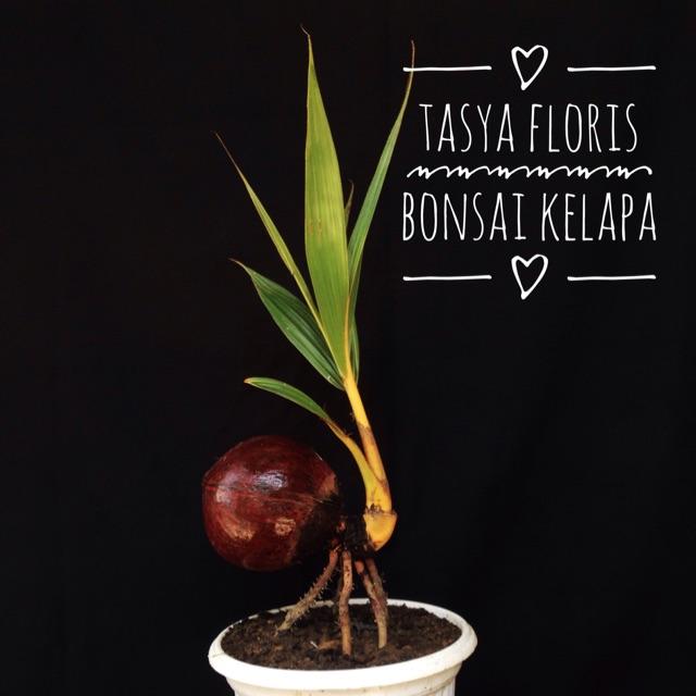 Bonsai Kelapa Bonpla Bunga Hias Unik Dan Cantik Shopee Indonesia