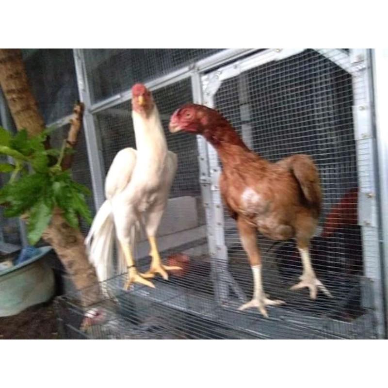 telur fertil ayam aseel parrot x aseel parrot