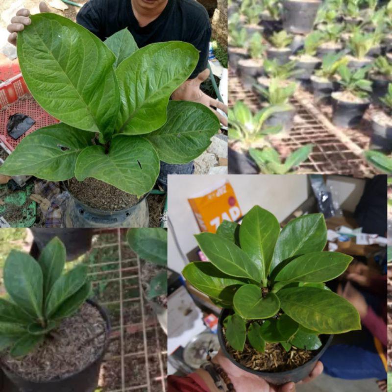 tanaman hias anthurium jemani mangkok - anthurium jemani mangkok - anthurium mangkok