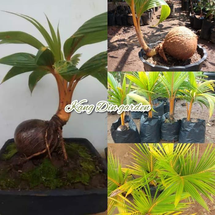 Kelapa Bahan Bonsai Shopee Indonesia