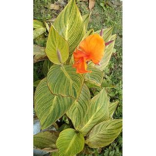 Tanaman Hias Bunga Kecombrang Bunga Kantan Honje Etlingera Elatior Shopee Indonesia