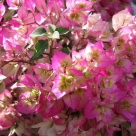 Lagi Tren Bibit Bunga Bugenvil Bougenville Kertas Tumpuk Cherry Blossom Pink Shopee Indonesia