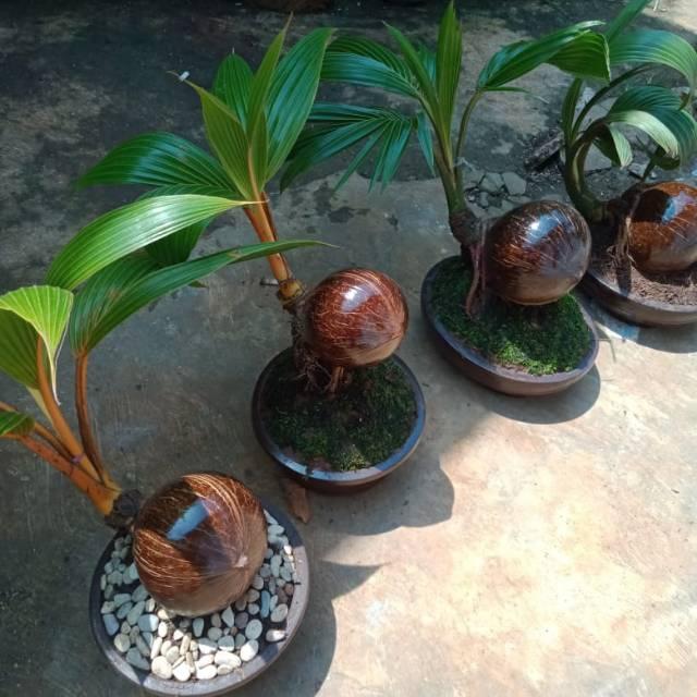 Bonsai Kelapa Gading Kuning Shopee Indonesia