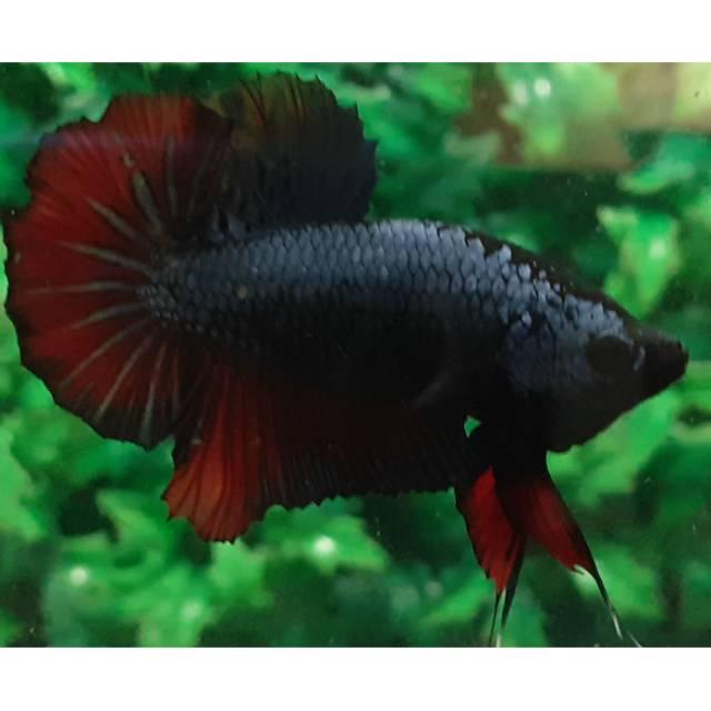 Ikan Cupang Vampire Shopee Indonesia