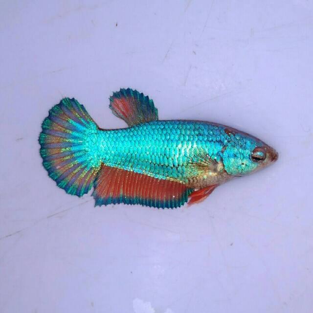 Ikan Cupang Hias Betina Plakat Besgel Murah Grosir Beli 1 Gratis 2 Shopee Indonesia