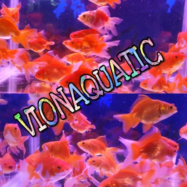Ikan Mas Koki Oranda Size S Hiasan Aquarium Aquascape Kolam Ikan Hias Goldfish Maskoki Oranda Jambul Shopee Indonesia