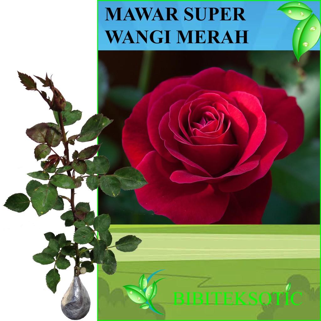 Tanaman Mawar Super Wangi Merah Shopee Indonesia