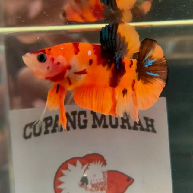 Ikan Cupang Plakat Nemo Candy Shopee Indonesia