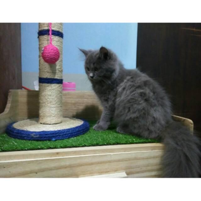 Download 99+  Gambar Kucing Anggora Persia Lucu Terbaik HD