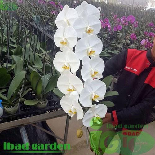Bunga Anggrek Bulan Putih Kualitas Super Kondisi Sedang Berbunga Tanaman Indoor Untuk Meja Dan Teras Shopee Indonesia