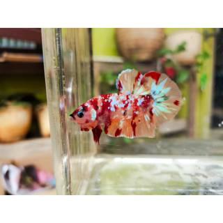 Ikan Cupang Plakat Emerald / Nemo Male Jantan | Shopee ...
