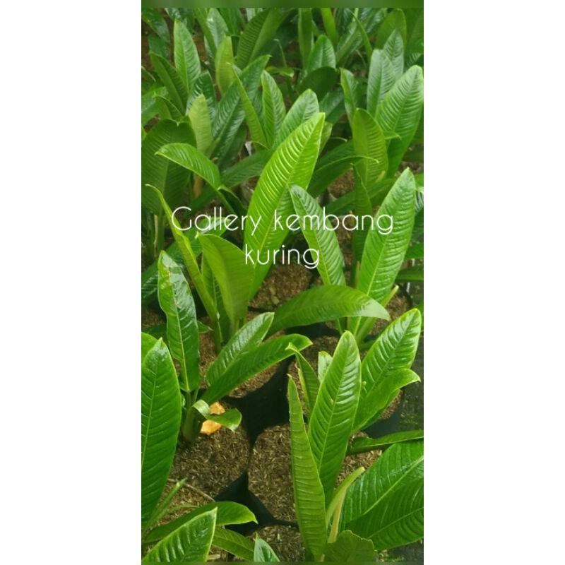 Tanaman Philodendron Lynette/linet