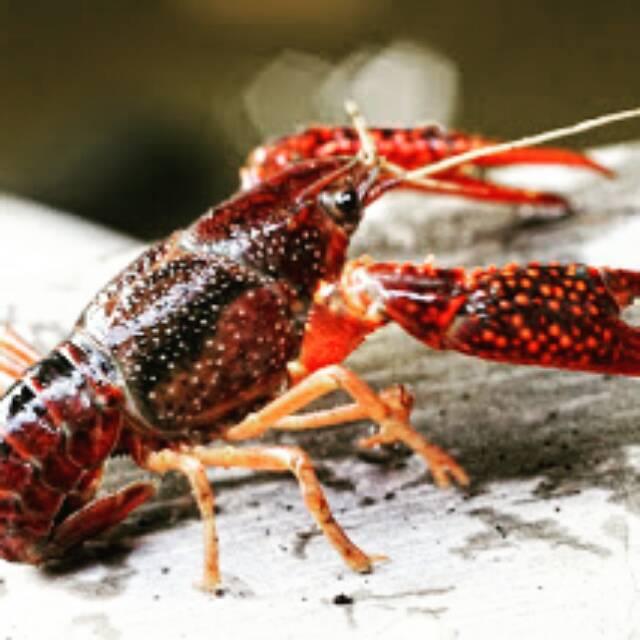 Lobster Hias Red Marlboro Clarki Brown Shopee Indonesia