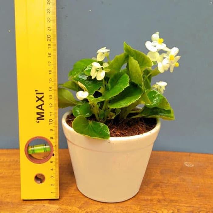 Tanaman Hias Indoor Begonia Putih Bunga Kecil Tumpuk Sering Berbunga Shopee Indonesia