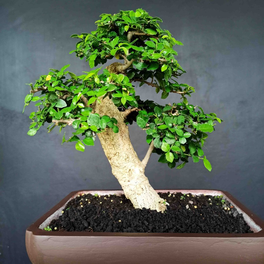 Bonsai Bonggol Tanaman Pohon Serut Mini Subur Mudah Perawatan