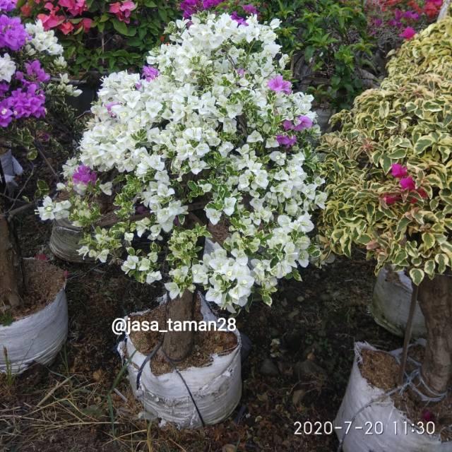 Bonsai Bougenville Putih Tanaman Hias Bunga Bougenville Bunga Kertas Shopee Indonesia
