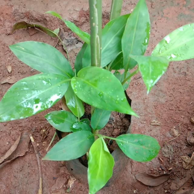 Pohon Lempuyang Tanaman Herbal Lempuyang Shopee Indonesia