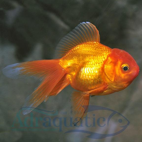 Bandung Ikan Hias Koki Oranda Goldfish Air Tawar Shopee Indonesia