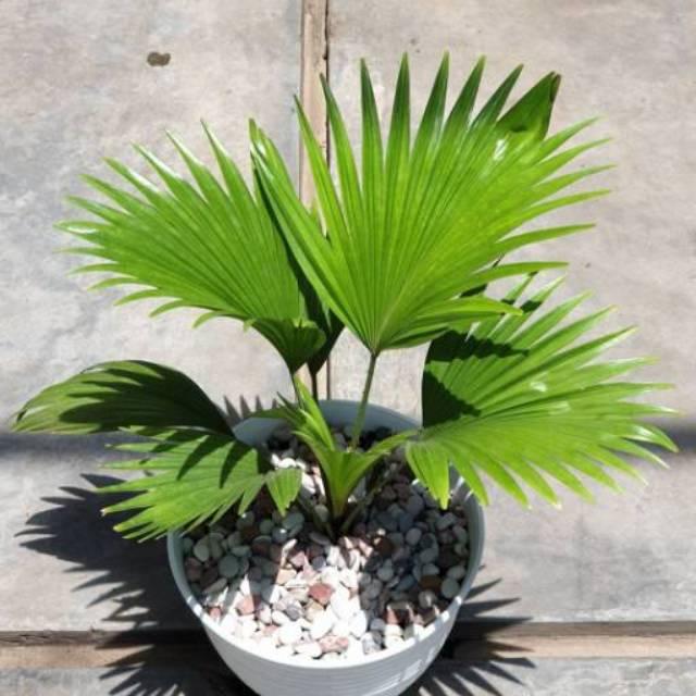 Jual Tanaman Hias Palem Kipas Pohon Palem Palem Kipas Bibit Tanaman Shopee Indonesia