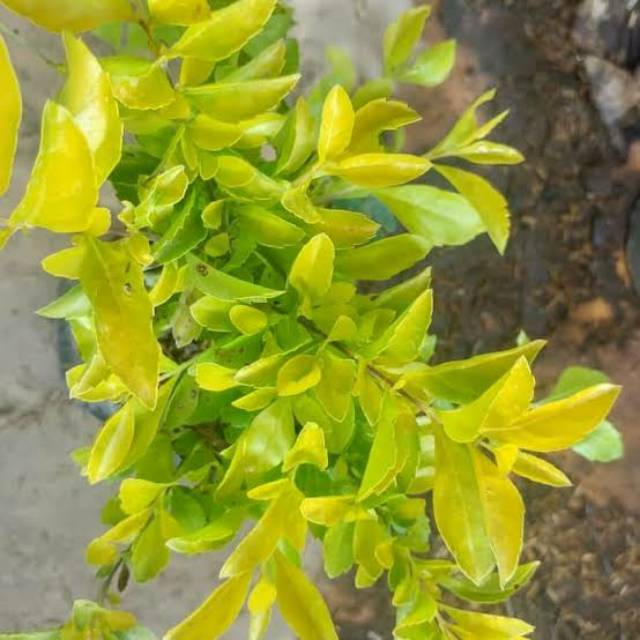 Tanaman Hias Bunga Pangkas Kuning Kecil Shopee Indonesia