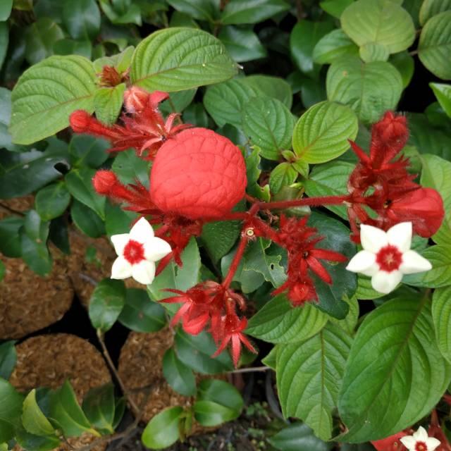 Tanaman Obat Bunga Nusa Indah Merah Shopee Indonesia