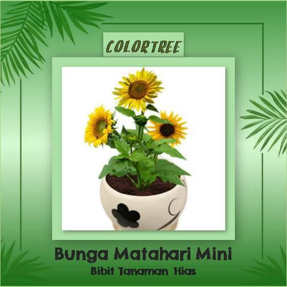 Tanaman Hias Bunga Matahari Mini Shopee Indonesia